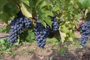 grapes-2488_640