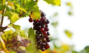 grapes-190482_640