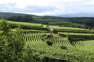 vineyard-102072_640